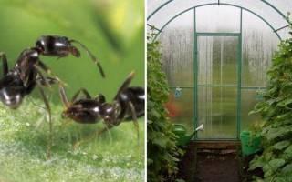 Как избавиться от муравьев в теплице, народные средства, видео