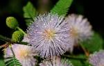 Мимоза стыдливая — выращивание в домашних условиях, видео