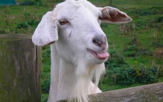 Разведение коз в домашних условиях для начинающих, таблица кормления с первых дней жизни, видео