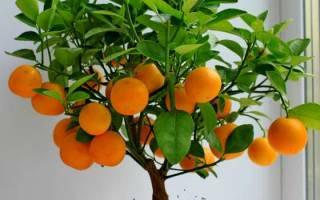Апельсин — правила выращивания и ухода за деревом на подоконнике, видео