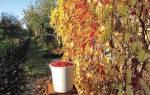 Ягоды лимонника китайского — выбор саженцев, правила посадки и ухода, применение ягод, видео