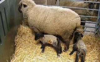 Овцеводство — выведение новых пород овец на фермерстве, видео