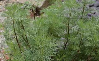 Выращивание полыни божье дерево — посадка и уход, обрезка, видео
