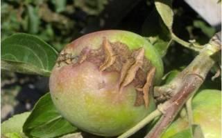 Почему трескаются, гниют, осыпаются яблоки и методы борьбы + видео