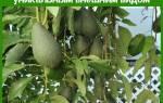 Авокадо дерево — как выглядит, где растет, уход в домашних условиях