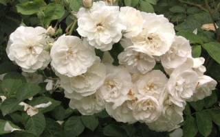 Как вырастить розу из черенка, как выбрать черенок, способы укоренения, видео