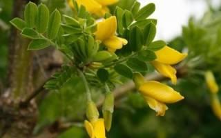 Желтая акация, карагана древовидная — посадка, выращивание, видео