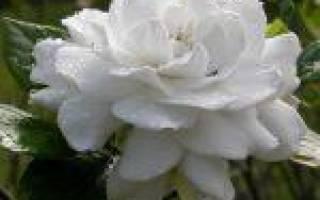 Уход за гарденией — тщательный выбор растения, правильный полив и температура воздуха, видео