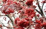 Виды и сорта рябины — рубиновая, титан, ликерная, красная, видео