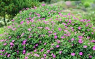 Герань садовая — виды и сорта луговой, лесной, гималайской, многолетней садовой, крупнокорневищной, великолепной герани на фото с описанием, видео