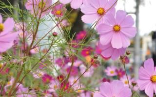 Космея — выращивание из семян, посадка и уход в открытом грунте, фото, видео