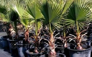 Выращивание пальмы в домашних условиях — выбор горшка, видео
