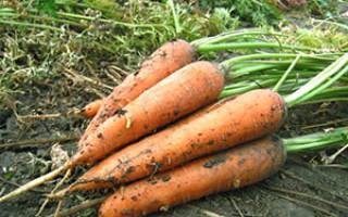 Когда лучше сеять морковь в условиях климата Сибири, видео