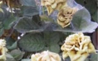 Как бороться с паутинным клещом на розах — видео