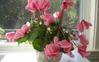 Как ухаживать за цикламеном во время и после цветения, видео