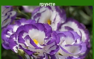 Эустома многолетняя — посадка и уход луковичного растения, зимовка