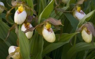 Венерин башмачок крупноцветковый: описание вида, особенности выращивания, видео