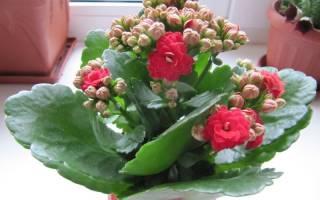 Разновидности каланхоэ — фото и названия, розалина, видео