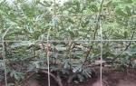 Инжир садовый — два способа выращивания, уход, выбор сорта, видео