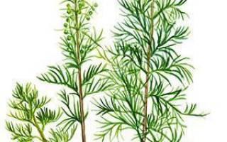 Укропное дерево — выращивание, посадка, уход, удобрение + фото, видео