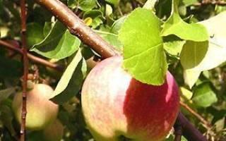 Болезни яблонь — описание, профилактика, лечение, видео