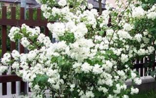 Чубушник Шнеештурм: описание сорта, особенности выращивания, видео