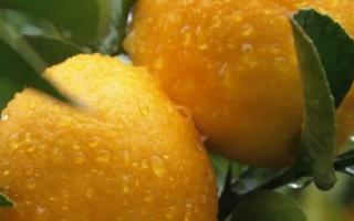 Как пересадить лимон пошагово, когда это надо делать, видео