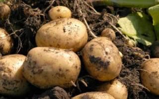 Как вырастить хороший урожай картофеля — видео