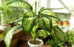 Диффенбахия -пересадка растения с длинным стволом в домашних условиях, видео