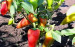 Уход за рассадой перца после высадки в грунт, видео