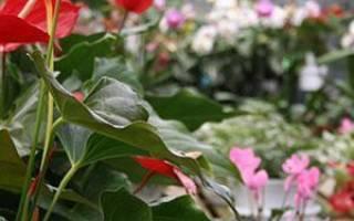 Комнатный антуриум не цветет, почему, как заставить цвести, видео