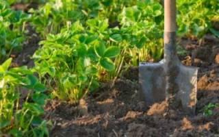 Как выращивать клубнику, способы посадки саженцев, видео