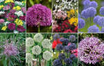 Виды аллиума — краткое описание растений для сада, видео