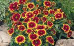 Как вырастить гайлардию из семян, посев на рассаду и в грунт