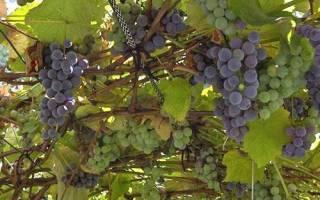 Уход за виноградом летом в Сибири: подкормка, обработка, полив + видео