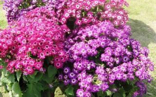 Однолетние цветы цинерария морская — выращивание и уход, видео