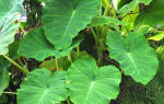 Алоказия — ядовитое растение или нет, содержание ядовитых веществ, видео