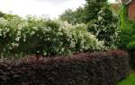 Живая изгородь быстрорастущая многолетняя — кусты для изгороди, видео