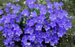 Кампанула садовая многолетняя — посадка и уход, размножение, видео