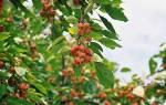 Компот из райских яблок — пошаговый рецепт консервации маленьких яблок на зиму, видео