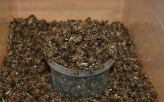 Подмор пчел — как использовать настойку на водке, лечебные свойства и применение спиртовой настойки, видео