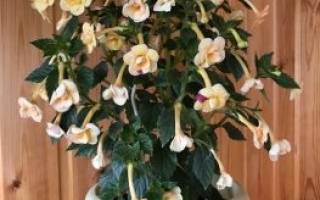 Цветок ахименес, уход и размножение, описание растения, видео