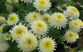 Хризантема — размножение способом черенкования, видео