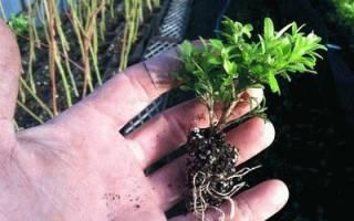 Самшит — выращивание из черенка, правила посадки, уход, видео
