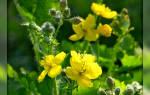 Лекарственное растение чистотел — полезные свойства, применение в народной медицине, видео