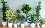 Неприхотливые комнатные растения — правильный выбор, видео