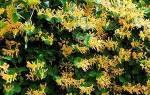 Жимолость каприфоль ароматная лиана: посадка, уход и размножение + видео