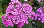 Многолетние цветы — обрезка, пересадка, мульчирование весной, видео