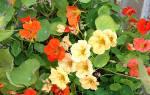 Каперсы из семян настурции — рецепты приготовления маринованных и соленых каперсов, видео