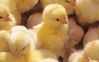 Как давать дрожжи цыплятам бройлерам, видео